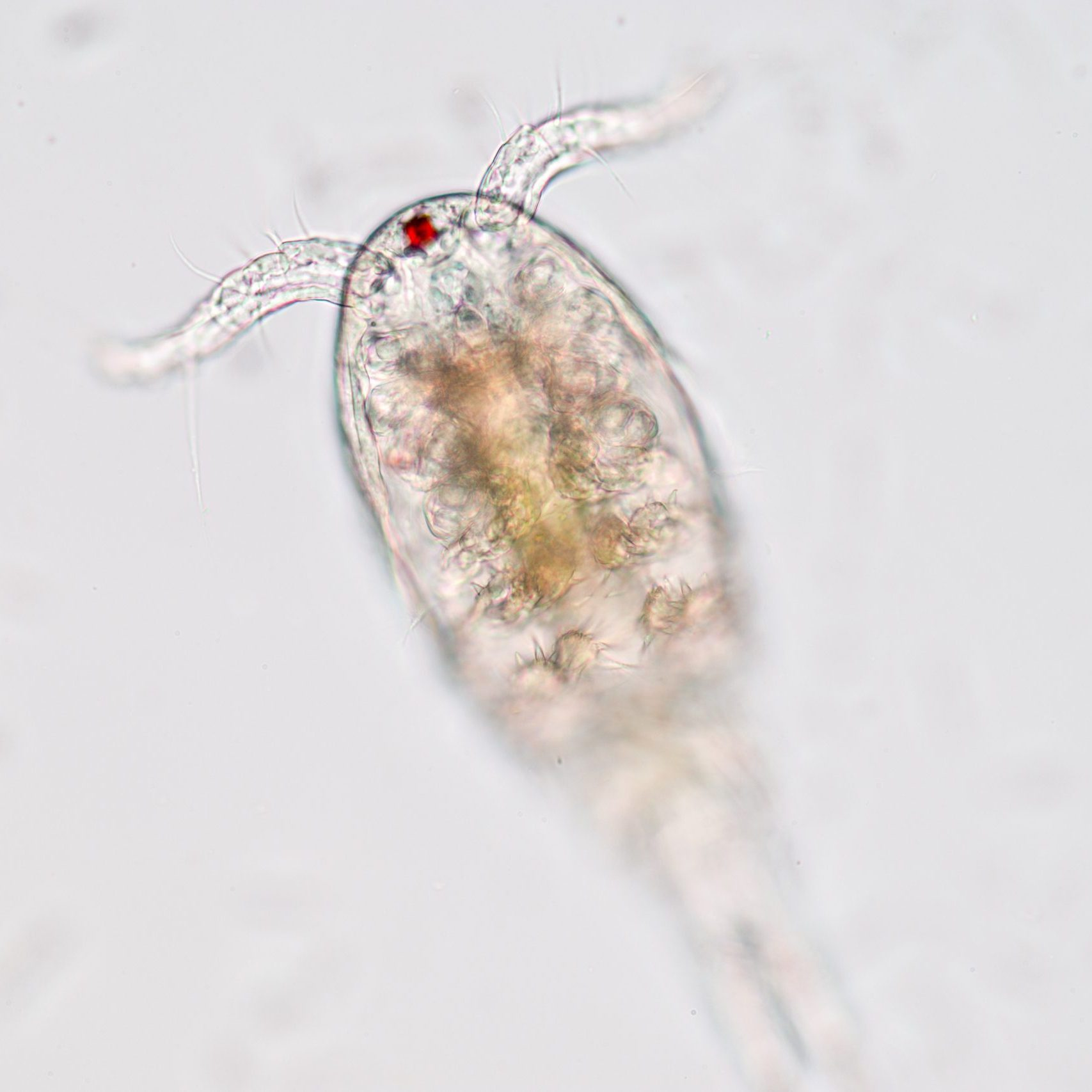 Copepod (zooplankton) in freshwater and Marine under microscope.